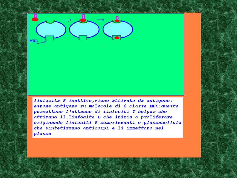 un linfocita B viene attivato dopo aver preso contatto con l antigene complementare e con un linfocita T helper attivato dallo stesso antigene linfocita B lega antigene complementare al proprio anticorpo linfocita B sensibilizzato associa molecole di antigene alle proteine MHC di II classe presenti sulla membrana linfocita T helper attivato dallo stesso antigene si lega al complesso MHC-antigene complementare al proprio recettore linfocita B viene attivato ed entra in proliferazione generando linfociti B memorizzanti,plasmacellule che liberano anticorpi
