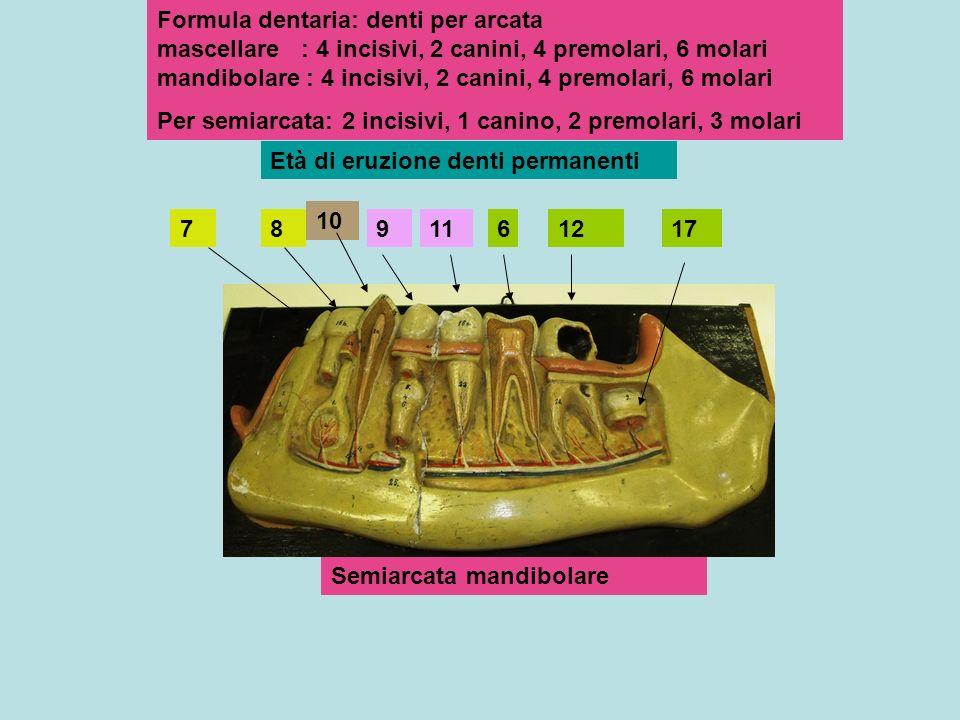 Formula dentaria: denti per arcata mascellare : 4 incisivi, 2 canini, 4 premolari, 6 molari mandibolare : 4 incisivi, 2 canini, 4 premolari, 6 molari