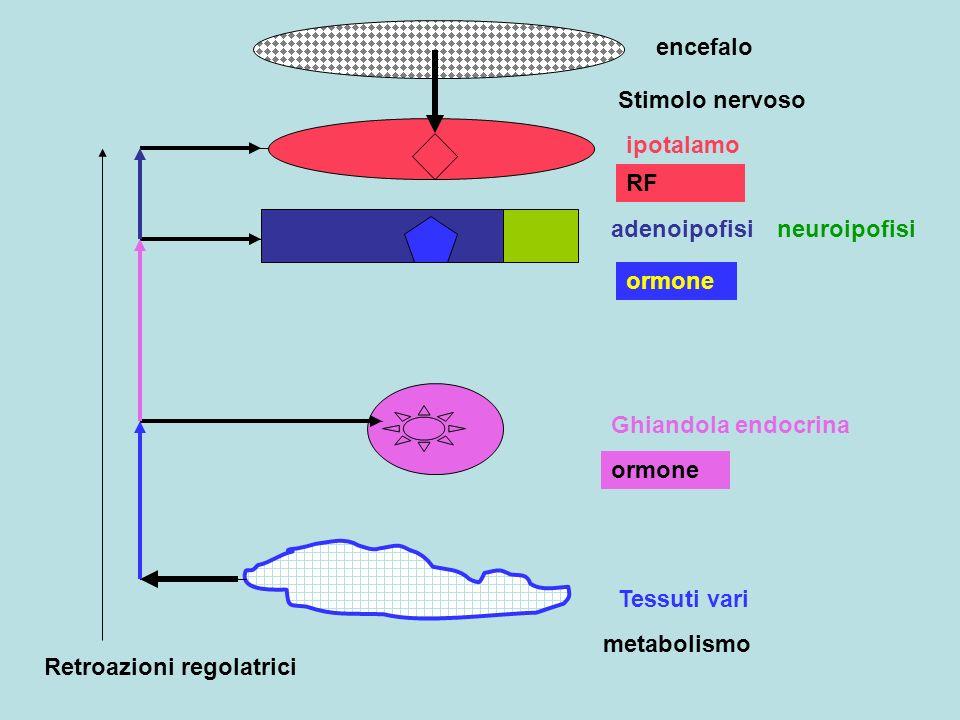 encefalo ipotalamo adenoipofisineuroipofisi Ghiandola endocrina Tessuti vari Stimolo nervoso RF ormone metabolismo Retroazioni regolatrici
