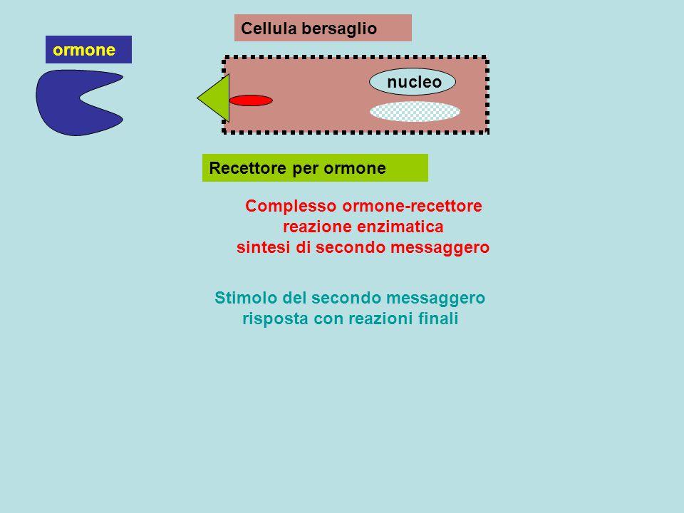 Cellula bersaglio Recettore per ormone ormone Complesso ormone-recettore reazione enzimatica sintesi di secondo messaggero nucleo Stimolo del secondo
