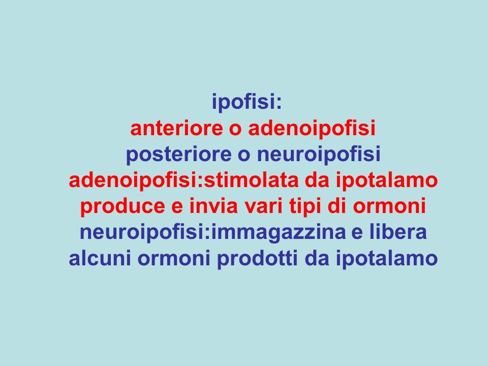 ipofisi: anteriore o adenoipofisi posteriore o neuroipofisi adenoipofisi:stimolata da ipotalamo produce e invia vari tipi di ormoni neuroipofisi:immag