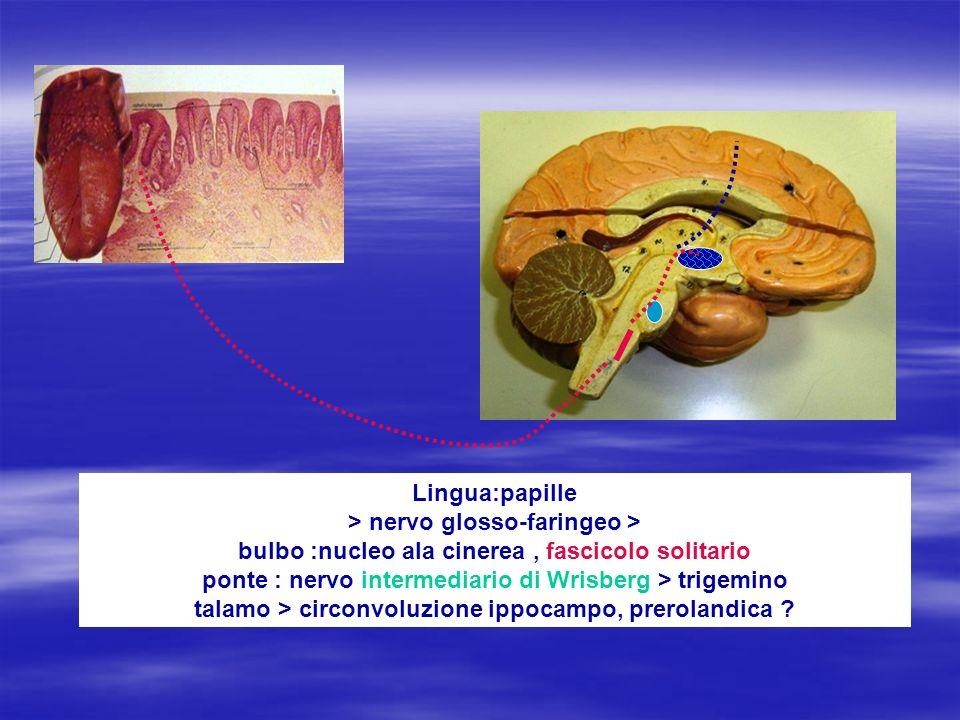 Lamina cribrosa Chemorecettori papille linguali Centri gusto incerti…
