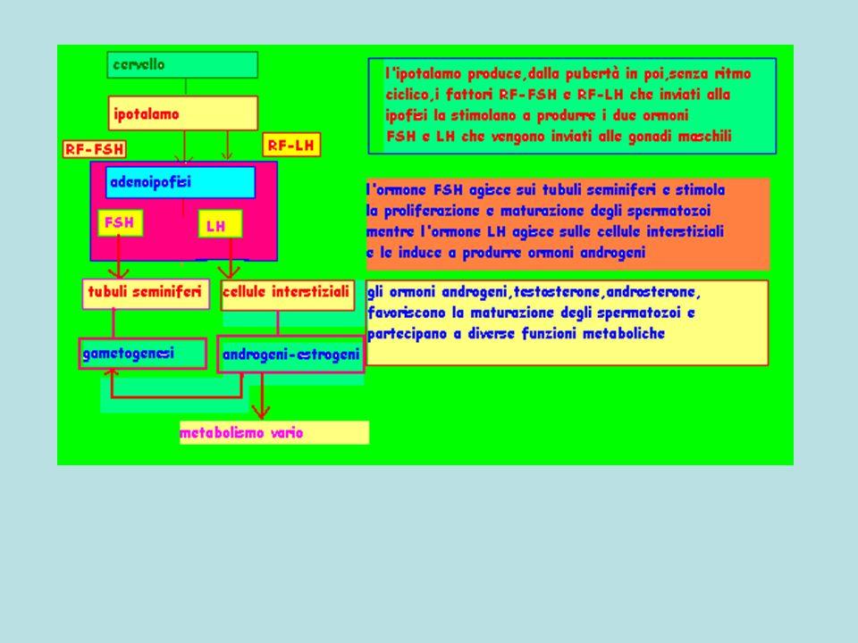 cervello ipotalamo adenoipofisi Tubuli seminiferiCellule interstiziali gametogenesi Androgeni-estrogeni metabolismo RF-FSHRF-LH FSHLH