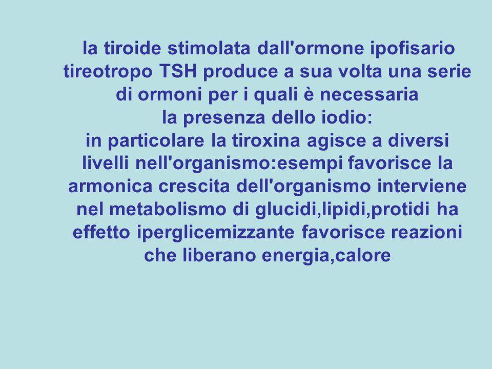 la tiroide stimolata dall ormone ipofisario tireotropo TSH produce a sua volta una serie di ormoni per i quali è necessaria la presenza dello iodio: in particolare la tiroxina agisce a diversi livelli nell organismo:esempi favorisce la armonica crescita dell organismo interviene nel metabolismo di glucidi,lipidi,protidi ha effetto iperglicemizzante favorisce reazioni che liberano energia,calore