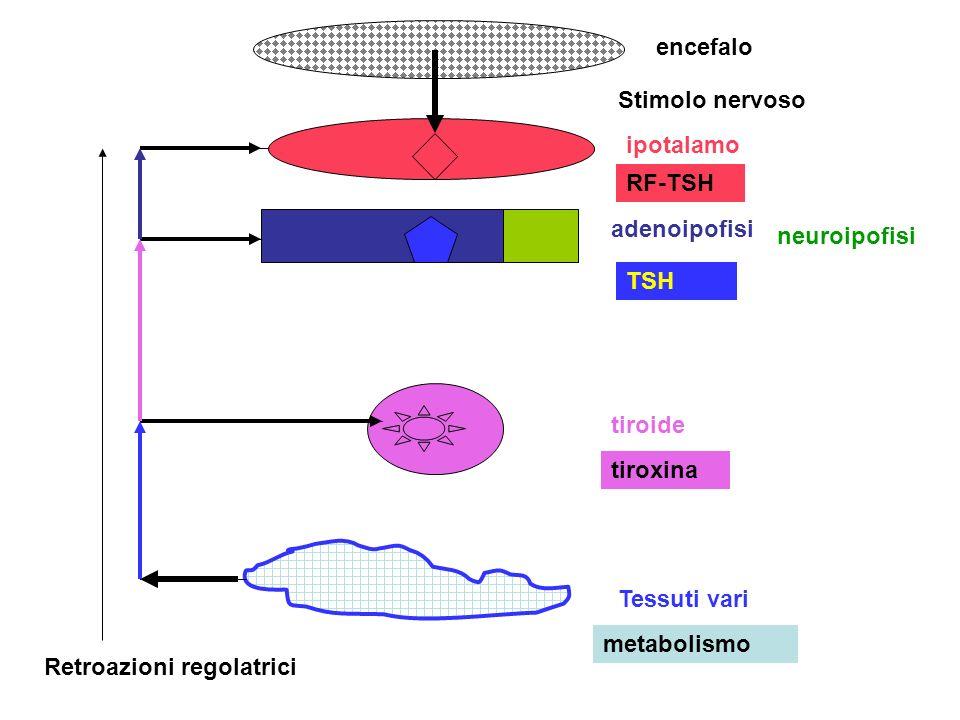 encefalo ipotalamo adenoipofisi neuroipofisi tiroide Tessuti vari Stimolo nervoso RF-TSH TSH tiroxina metabolismo Retroazioni regolatrici