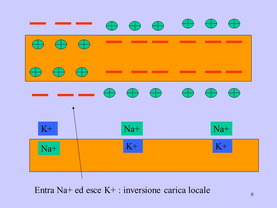 9 Na+ K+Na+ K+ Entra Na+ ed esce K+ : inversione carica locale