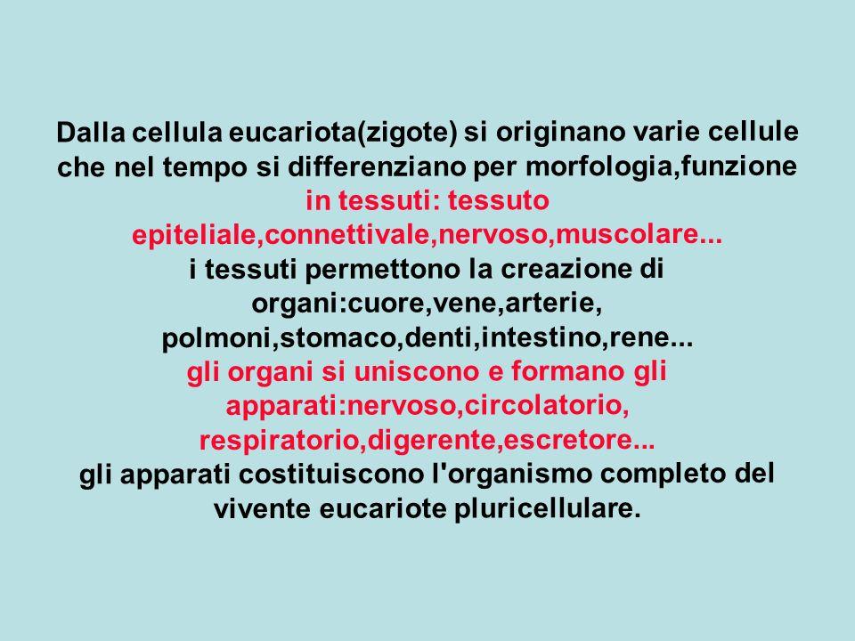 Dalla cellula eucariota(zigote) si originano varie cellule che nel tempo si differenziano per morfologia,funzione in tessuti: tessuto epiteliale,conne