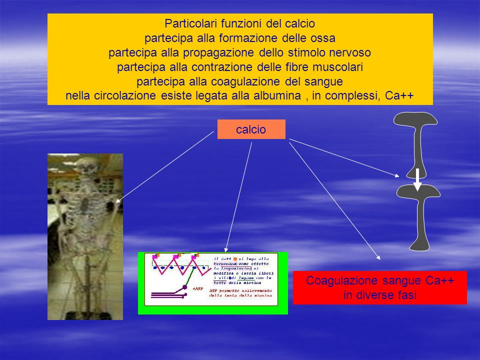 Particolari funzioni del calcio partecipa alla formazione delle ossa partecipa alla propagazione dello stimolo nervoso partecipa alla contrazione dell