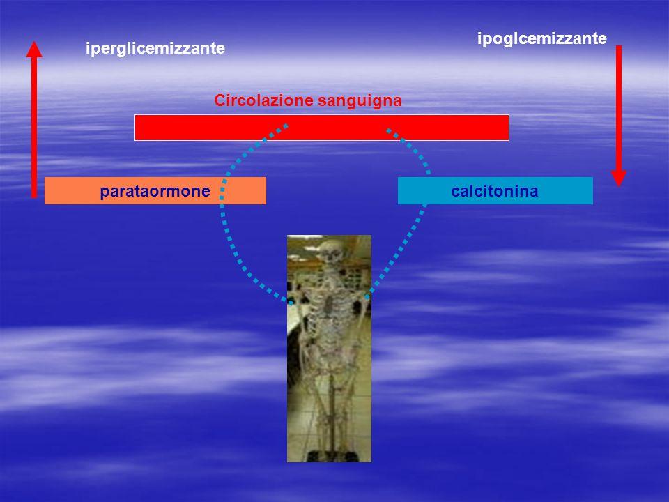 Circolazione sanguigna parataormonecalcitonina iperglicemizzante ipoglcemizzante