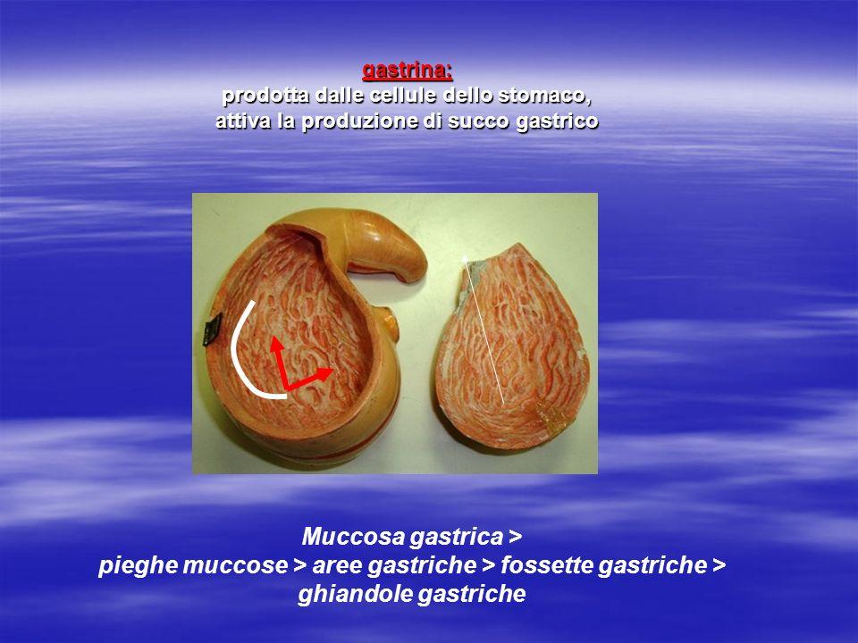 Muccosa gastrica > pieghe muccose > aree gastriche > fossette gastriche > ghiandole gastriche gastrina: prodotta dalle cellule dello stomaco, attiva l