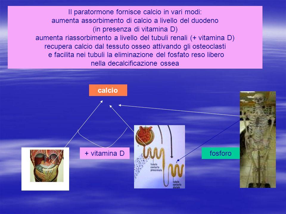 Il paratormone fornisce calcio in vari modi: aumenta assorbimento di calcio a livello del duodeno (in presenza di vitamina D) aumenta riassorbimento a
