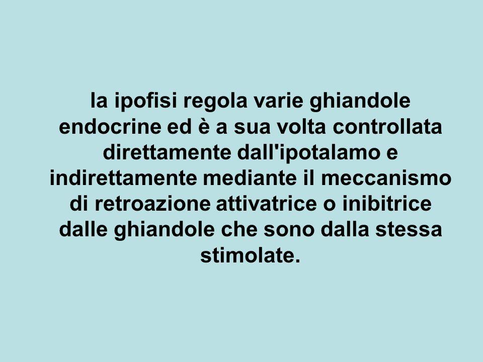 la ipofisi regola varie ghiandole endocrine ed è a sua volta controllata direttamente dall'ipotalamo e indirettamente mediante il meccanismo di retroa