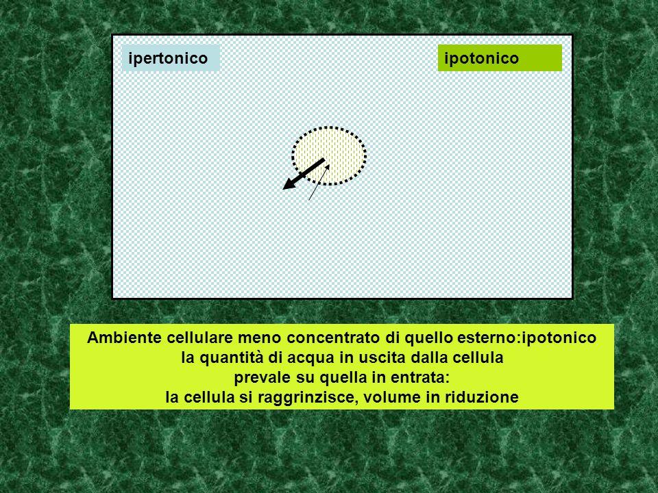 Ambiente cellulare meno concentrato di quello esterno:ipotonico la quantità di acqua in uscita dalla cellula prevale su quella in entrata: la cellula