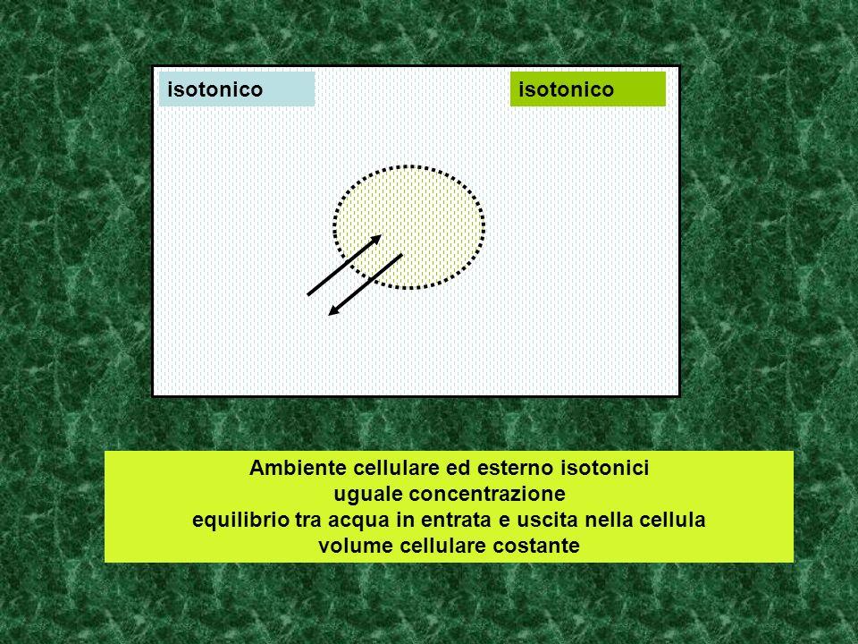 Ambiente cellulare ed esterno isotonici uguale concentrazione equilibrio tra acqua in entrata e uscita nella cellula volume cellulare costante isotoni