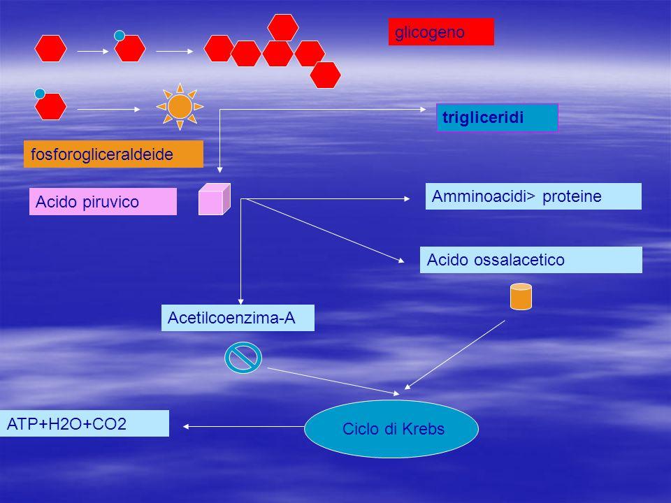 trigliceridi Amminoacidi> proteine Acido ossalacetico Acetilcoenzima-A Ciclo di Krebs ATP+H2O+CO2 glicogeno fosforogliceraldeide Acido piruvico