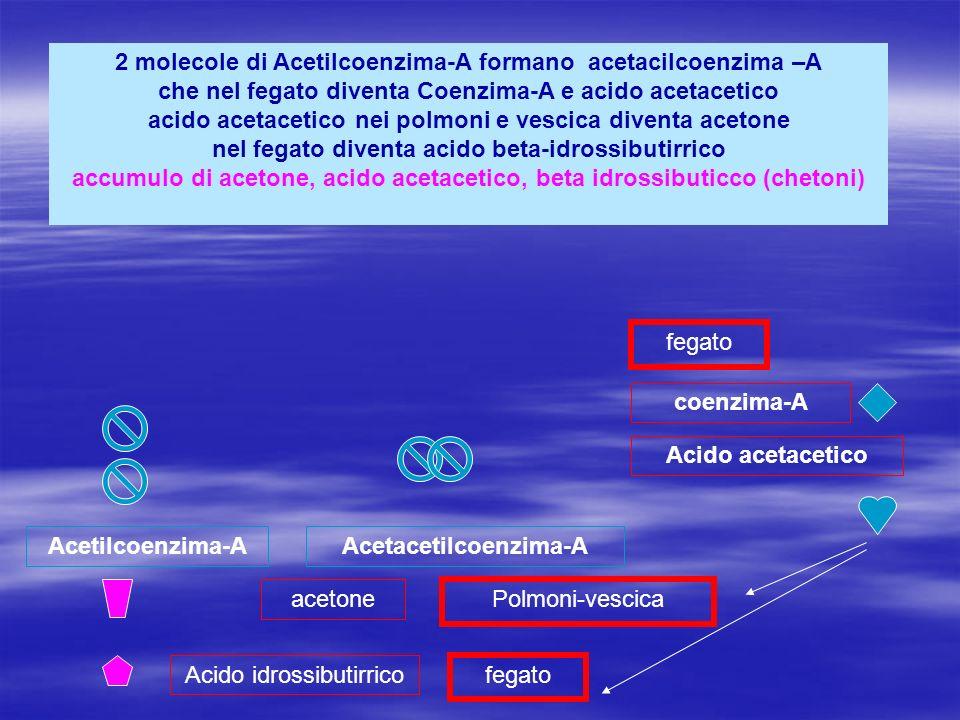 2 molecole di Acetilcoenzima-A formano acetacilcoenzima –A che nel fegato diventa Coenzima-A e acido acetacetico acido acetacetico nei polmoni e vesci