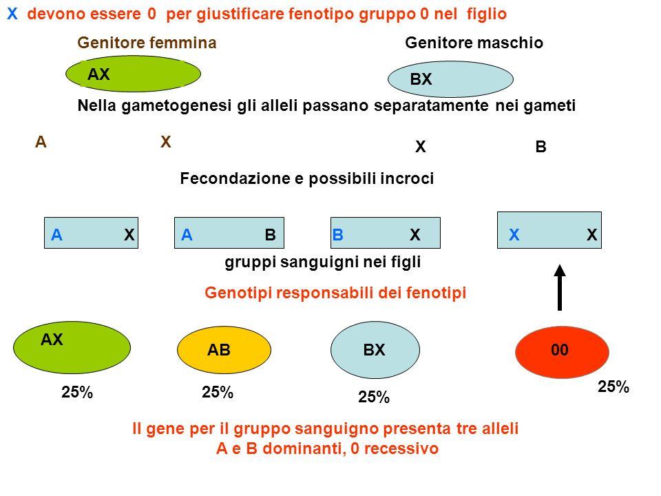 Genitore femminaGenitore maschio BX Il gene per il gruppo sanguigno presenta tre alleli A e B dominanti, 0 recessivo Nella gametogenesi gli alleli pas