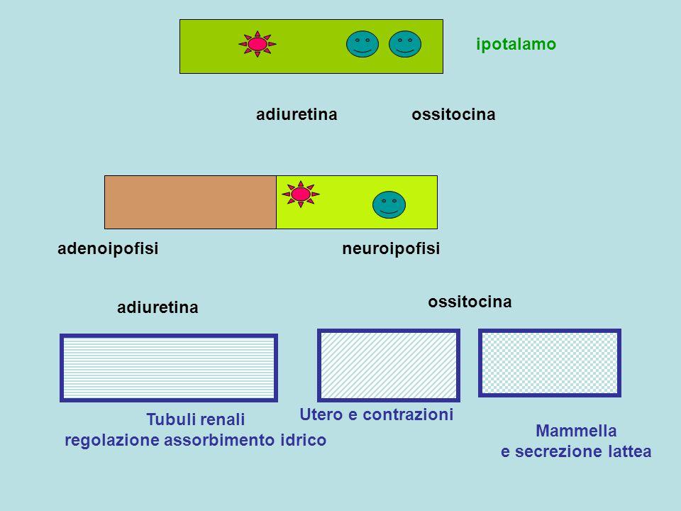 adenoipofisineuroipofisi Tubuli renali regolazione assorbimento idrico Utero e contrazioni Mammella e secrezione lattea ossitocina adiuretina ossitoci