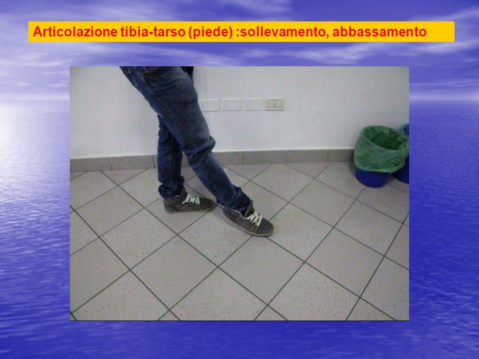 Articolazione tibia-tarso (piede) :sollevamento, abbassamento