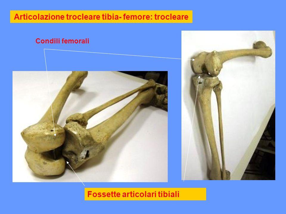 Articolazione tra tibia e femore : trocleare condili del femore > rotula > fosse glenoidee dei condili tibiali Condili femore Fosse glenoidee
