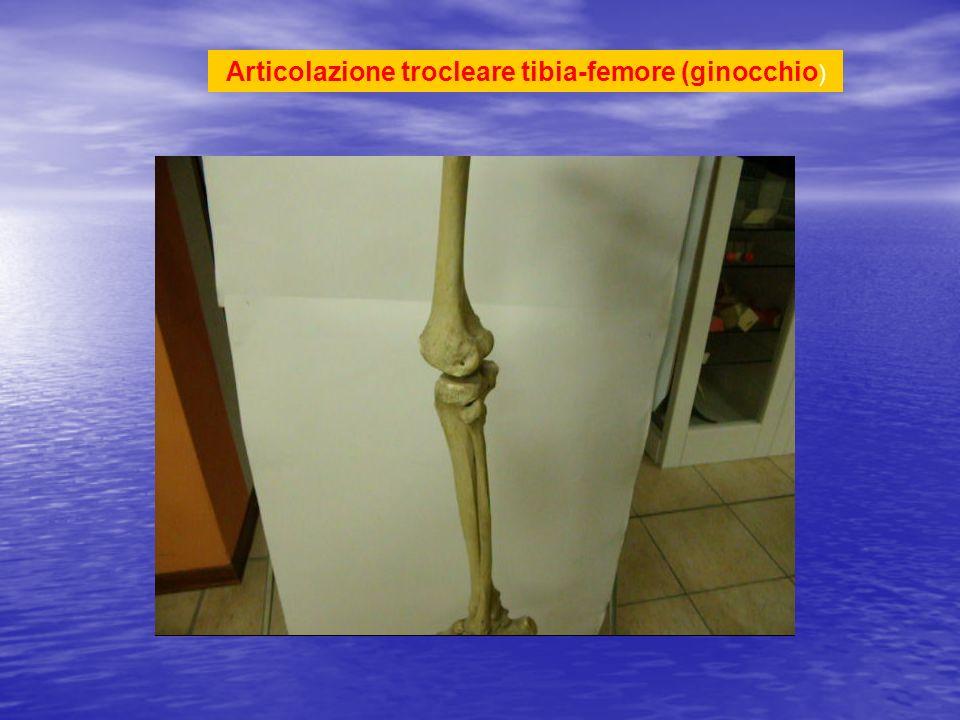Articolazione trocleare tibia-femore (ginocchio )
