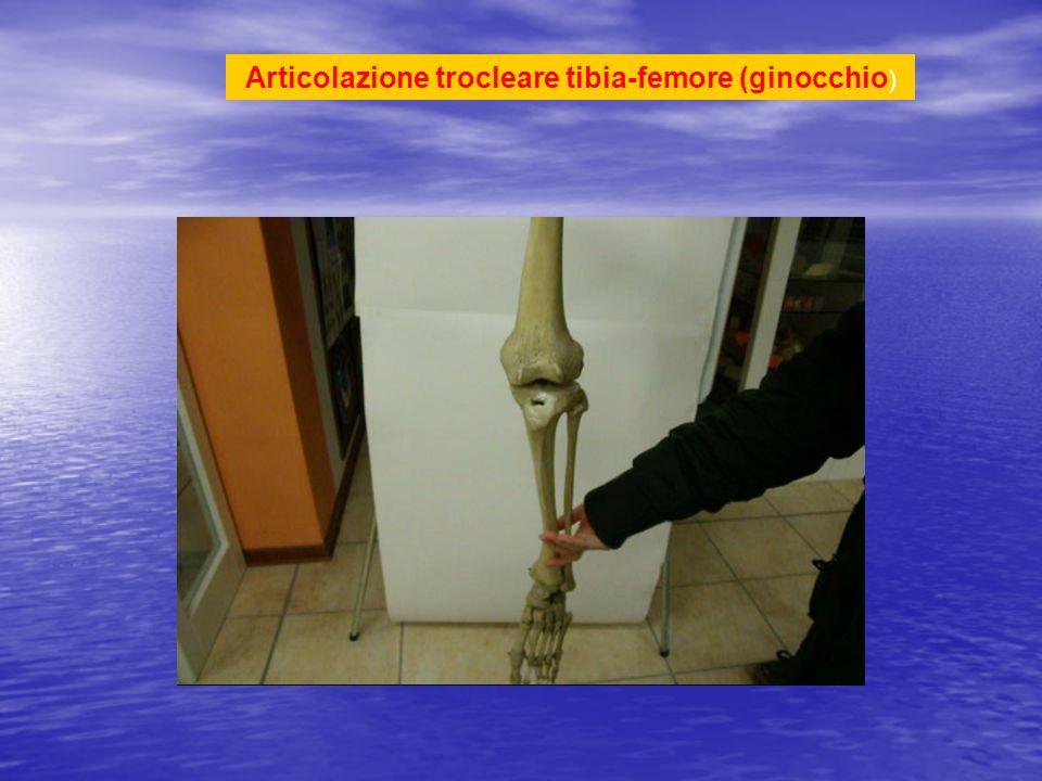 Articolazione tra gamba (tibia) e piede (tarso): trocleare Epifisi distale della tibia (mortaio crurale:tibia, malleoli) > astragalo (troclea) Il piede si sposta sul piano, verso destra, centro, sinistra e verso il basso e verso alto Piano orizzontale e verticale