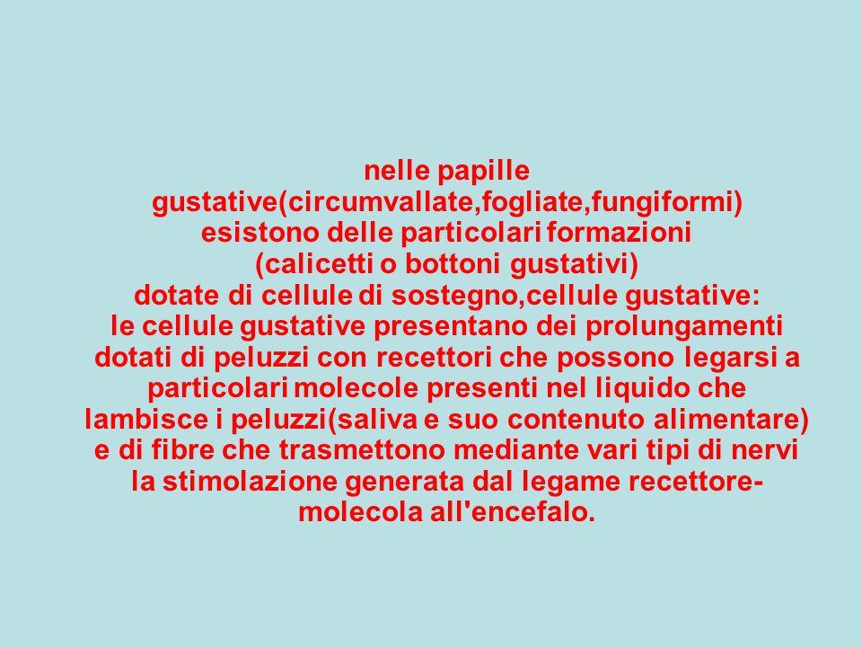 nelle papille gustative(circumvallate,fogliate,fungiformi) esistono delle particolari formazioni (calicetti o bottoni gustativi) dotate di cellule di