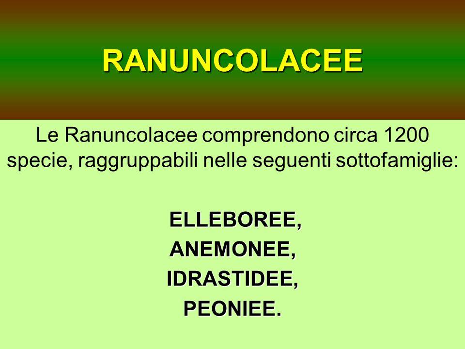 RANUNCOLACEE Le Ranuncolacee comprendono circa 1200 specie, raggruppabili nelle seguenti sottofamiglie: ELLEBOREE, ANEMONEE,IDRASTIDEE,PEONIEE.
