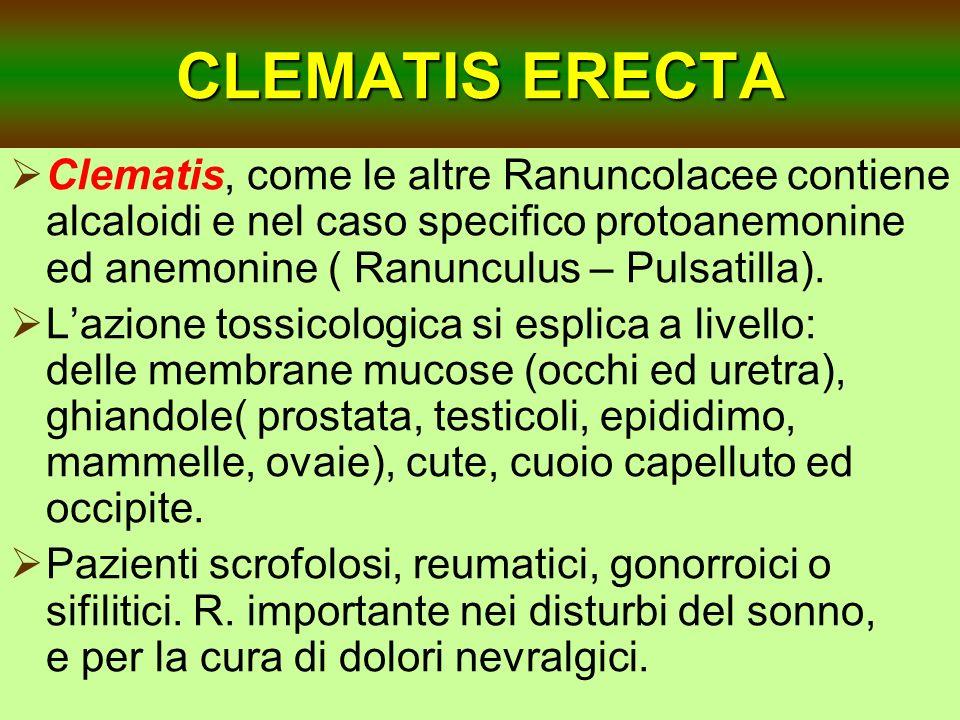 CLEMATIS ERECTA Clematis, come le altre Ranuncolacee contiene alcaloidi e nel caso specifico protoanemonine ed anemonine ( Ranunculus – Pulsatilla). L