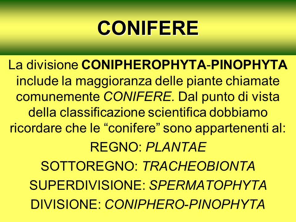 1CONIFERE La divisione CONIPHEROPHYTA-PINOPHYTA include la maggioranza delle piante chiamate comunemente CONIFERE. Dal punto di vista della classifica