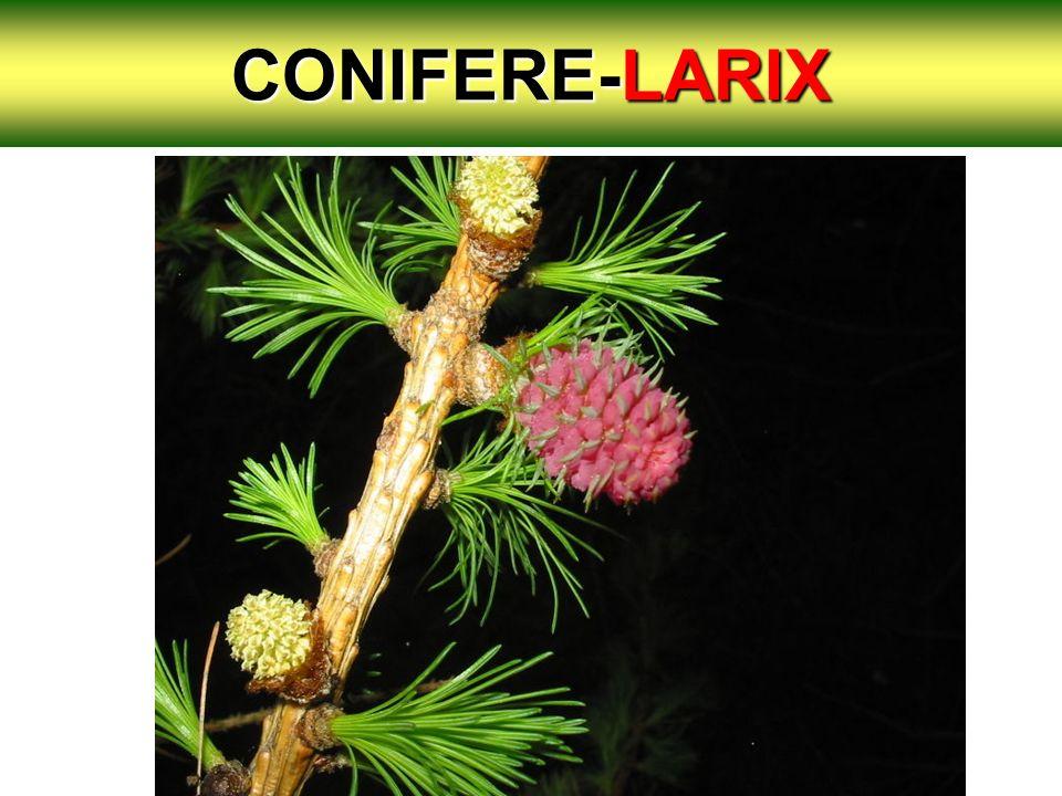 CONIFERE-LARIX