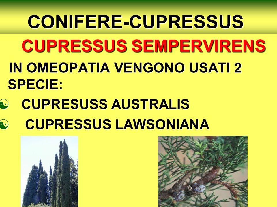 CONIFERE-CUPRESSUS CUPRESSUS SEMPERVIRENS IN OMEOPATIA VENGONO USATI 2 SPECIE: IN OMEOPATIA VENGONO USATI 2 SPECIE: CUPRESUSS AUSTRALIS CUPRESUSS AUSTRALIS CUPRESSUS LAWSONIANA CUPRESSUS LAWSONIANA
