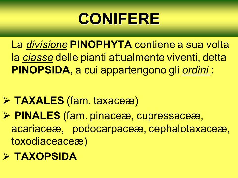 CONIFERE La divisione PINOPHYTA contiene a sua volta la classe delle pianti attualmente viventi, detta PINOPSIDA, a cui appartengono gli ordini : TAXA