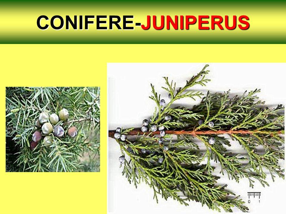 CONIFERE-JUNIPERUS