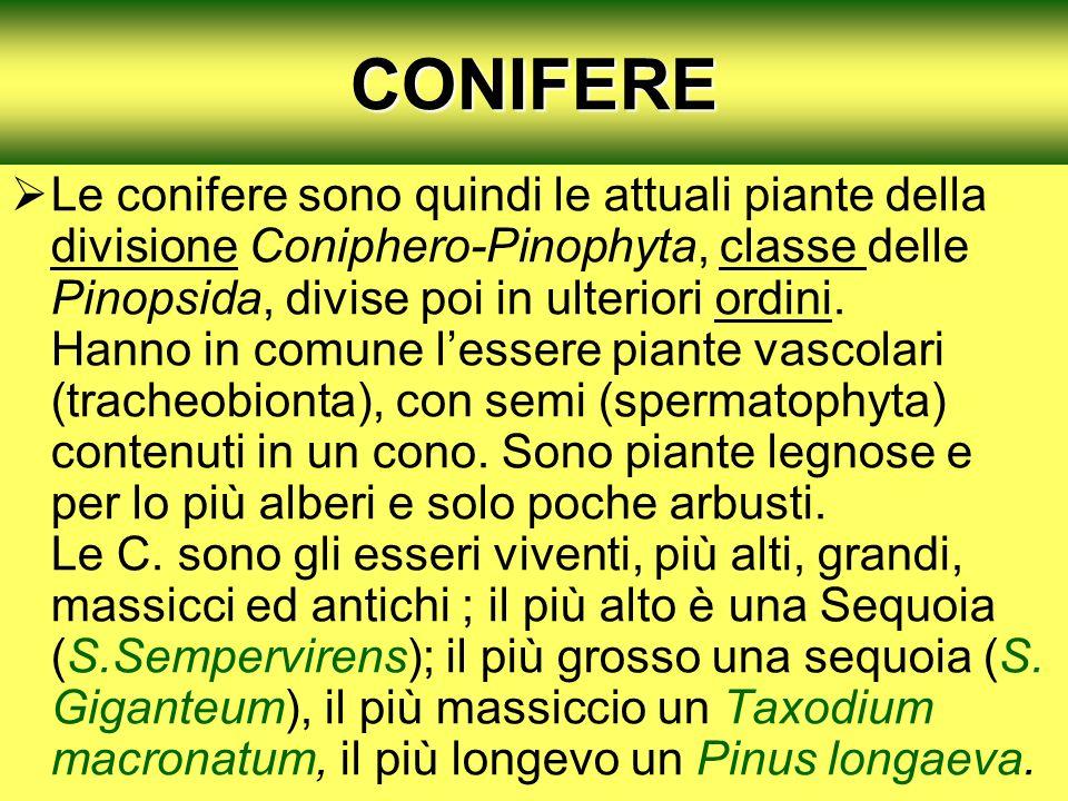 CONIFERE Le conifere sono quindi le attuali piante della divisione Coniphero-Pinophyta, classe delle Pinopsida, divise poi in ulteriori ordini. Hanno