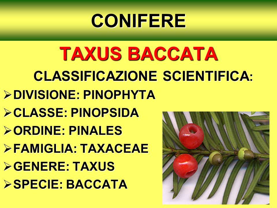 CONIFERE TAXUS BACCATA TAXUS BACCATA CLASSIFICAZIONE SCIENTIFICA : CLASSIFICAZIONE SCIENTIFICA : DIVISIONE: PINOPHYTA DIVISIONE: PINOPHYTA CLASSE: PIN