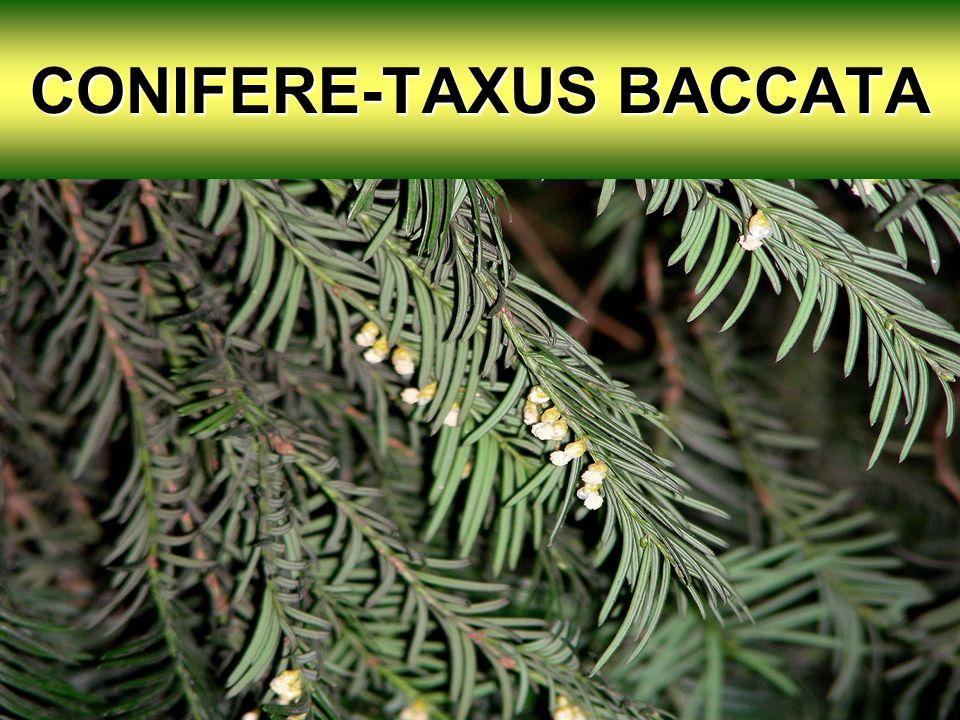 CONIFERE-TAXUS BACCATA