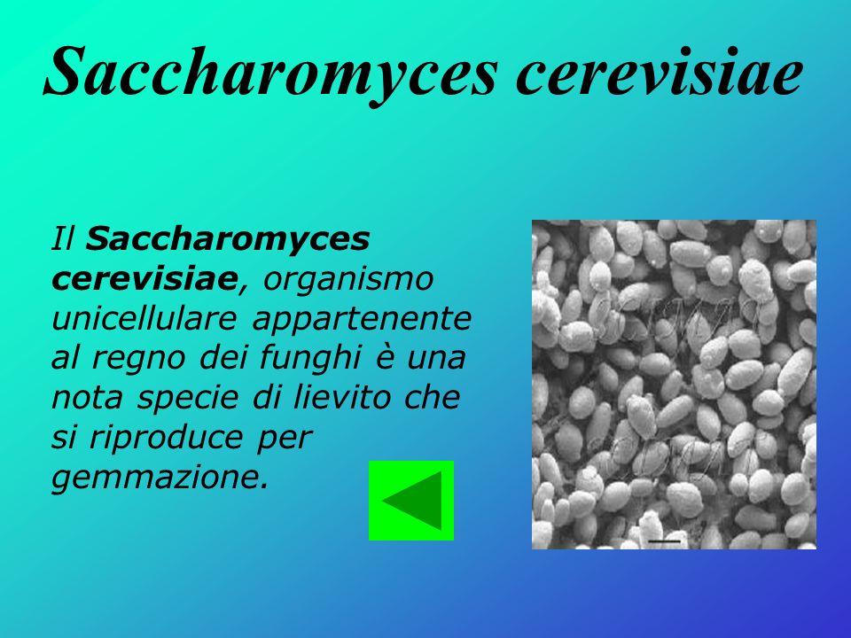 Saccharomyces cerevisiae Il Saccharomyces cerevisiae, organismo unicellulare appartenente al regno dei funghi è una nota specie di lievito che si ripr