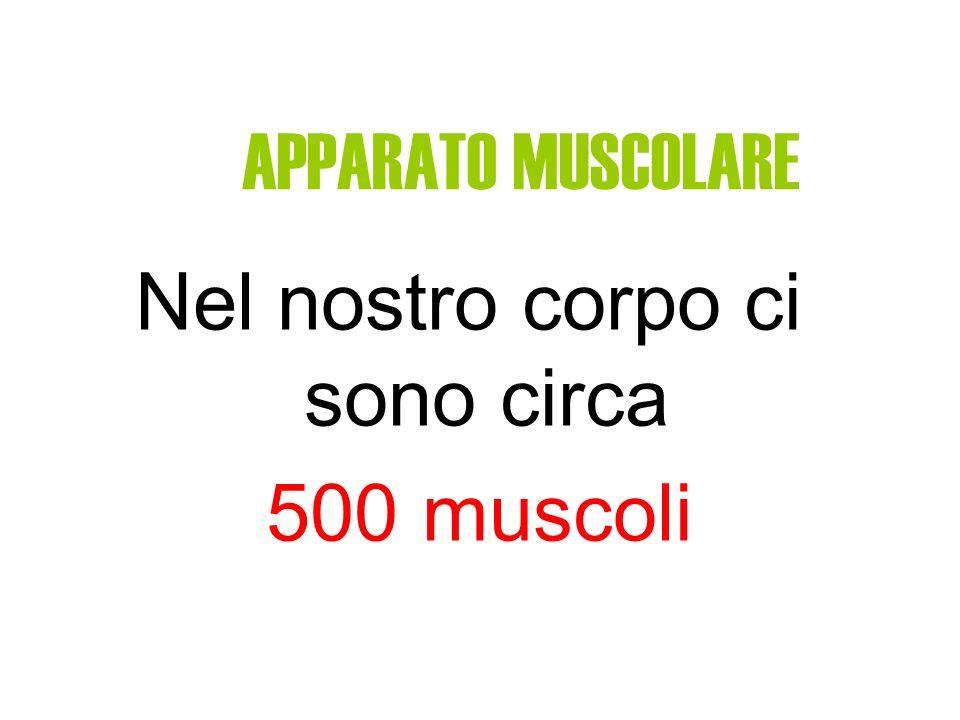 APPARATO MUSCOLARE Nel nostro corpo ci sono circa 500 muscoli
