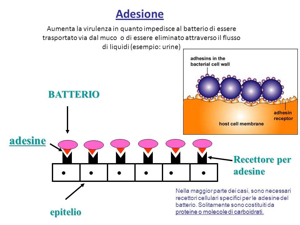Adesione Aumenta la virulenza in quanto impedisce al batterio di essere trasportato via dal muco o di essere eliminato attraverso il flusso di liquidi