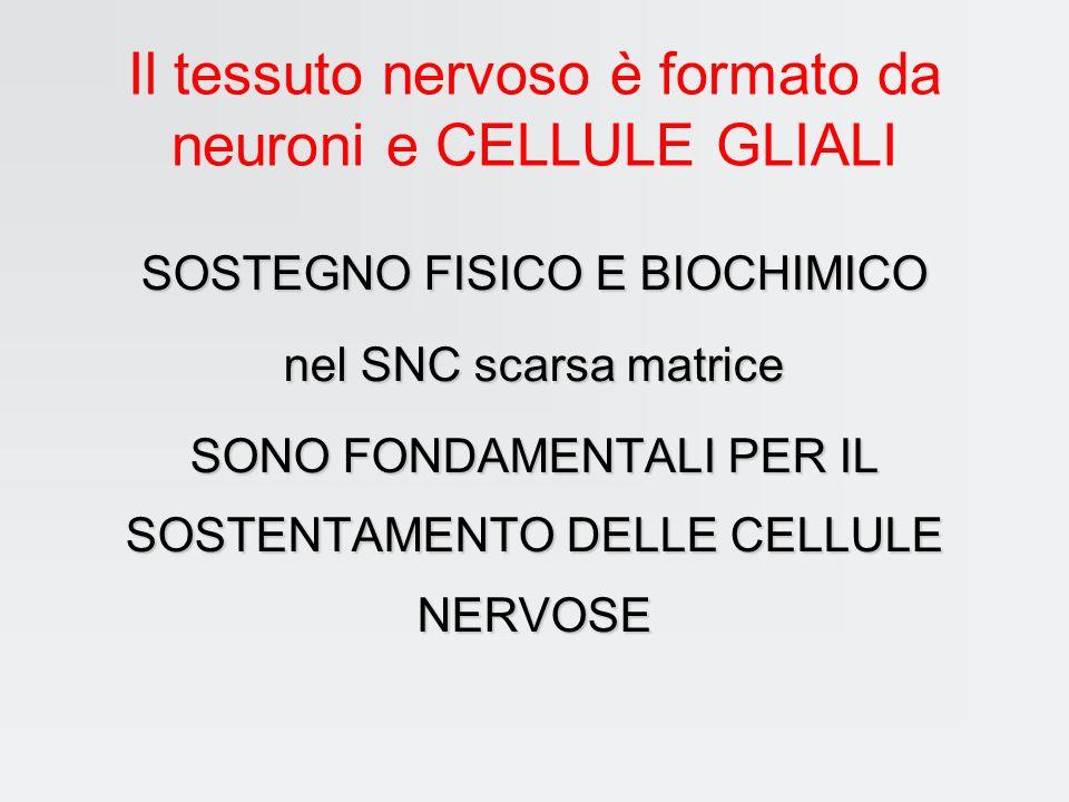 Eccitabilità cellulare cellule eccitabili: nervose e muscolari Due proprietà inscindibili eccitabilità conduttività modificazioni ambientali esterne e