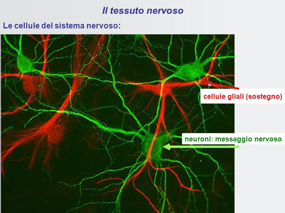 Il tessuto nervoso è formato da neuroni e CELLULE GLIALI SOSTEGNO FISICO E BIOCHIMICO nel SNC scarsa matrice SONO FONDAMENTALI PER IL SOSTENTAMENTO DE