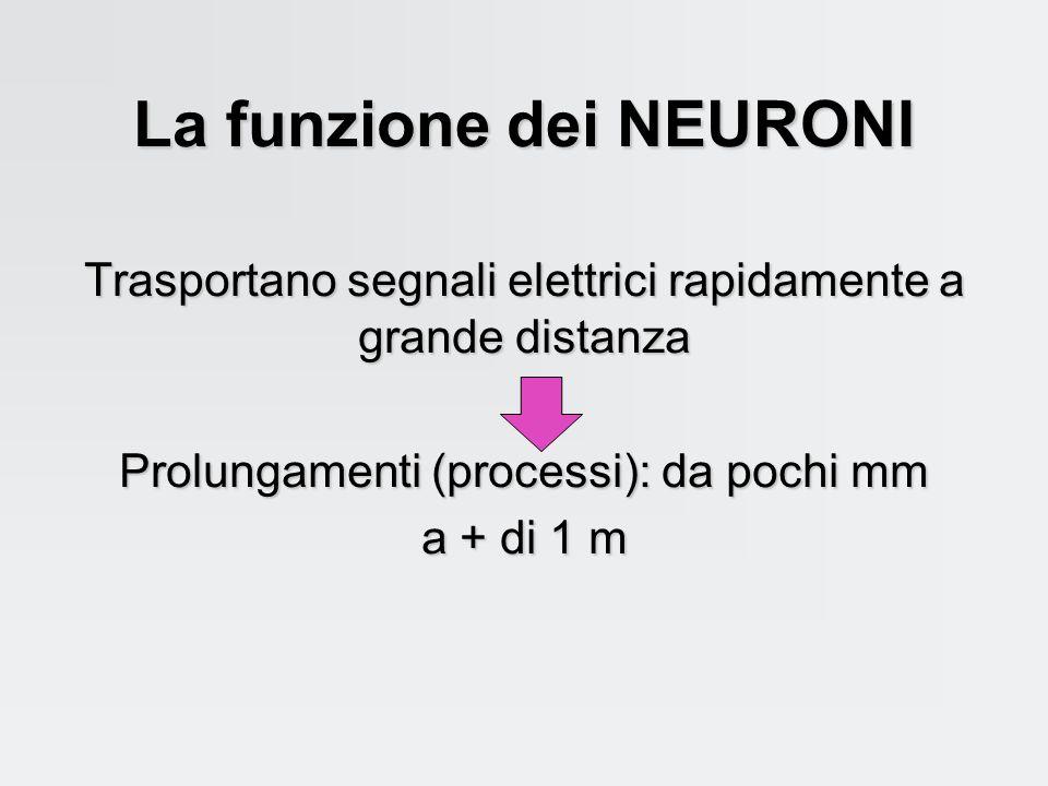 Il tessuto nervoso deve essere riccamente vascolarizzato per consentire un adeguato apporto di O 2 (metabolismo aerobico)
