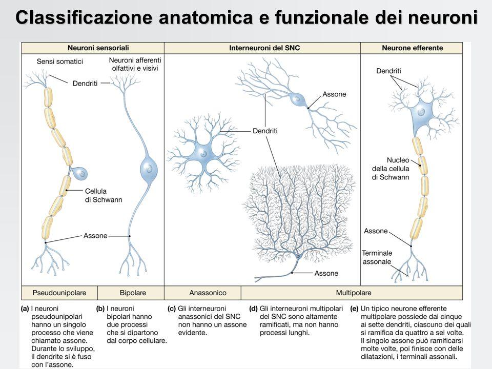 Il potenziale di membrana del neurone