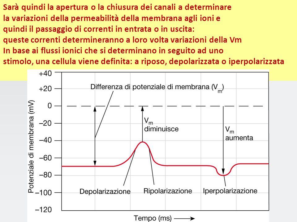 Anche un comportamento semplice può essere spiegato in termini di attività dei circuiti nervosi Neurone dei gangli delle radici dorsali del midollo sp