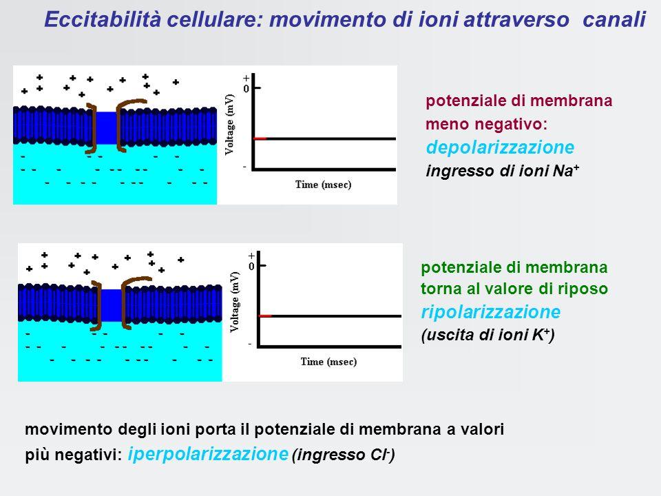 Sarà quindi la apertura o la chiusura dei canali a determinare la variazioni della permeabilità della membrana agli ioni e quindi il passaggio di corr