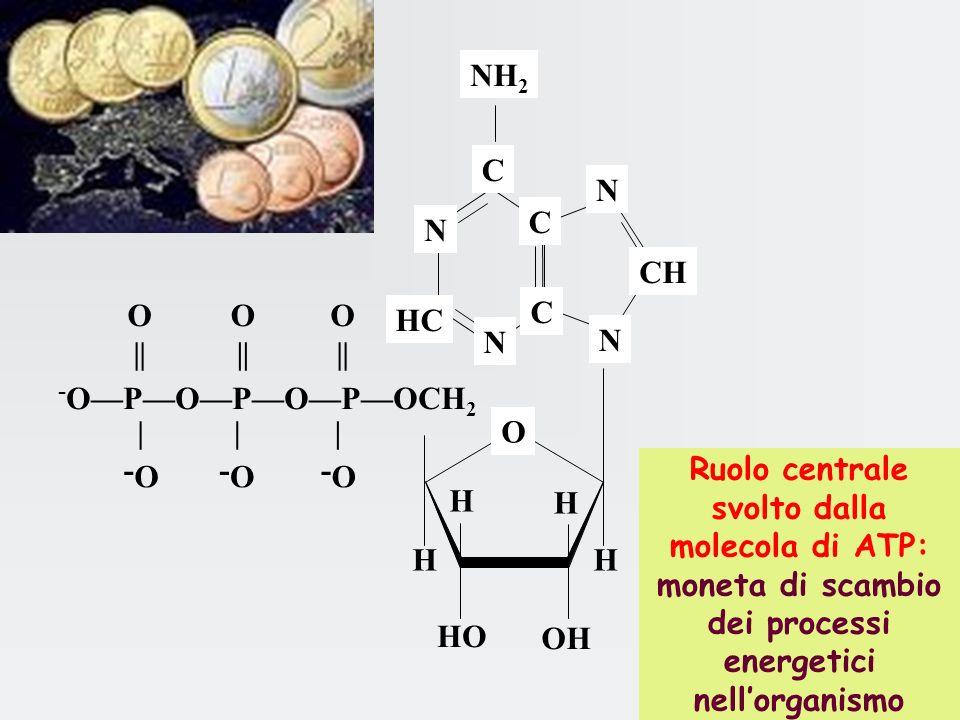O- | - OPOPOPOCH 2 O || O || O || O- | O- | NH 2 C C CH HC N N N N C H H H H HO OH O Ruolo centrale svolto dalla molecola di ATP: moneta di scambio dei processi energetici nellorganismo
