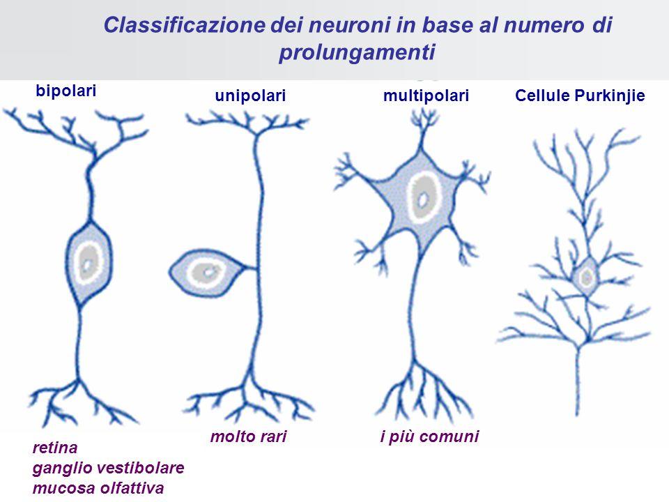 Lassone Camillo Golgi e Santiago Ramon y Cajal (premi Nobel 1906) al microscopio ottico con il metodo dellimpregnazione argentica, dimostrarono che an