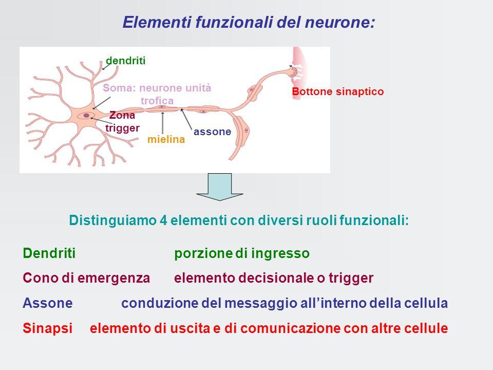 Classificazione dei neuroni in base al numero di prolungamenti retina ganglio vestibolare mucosa olfattiva i più comunimolto rari bipolari unipolarimu