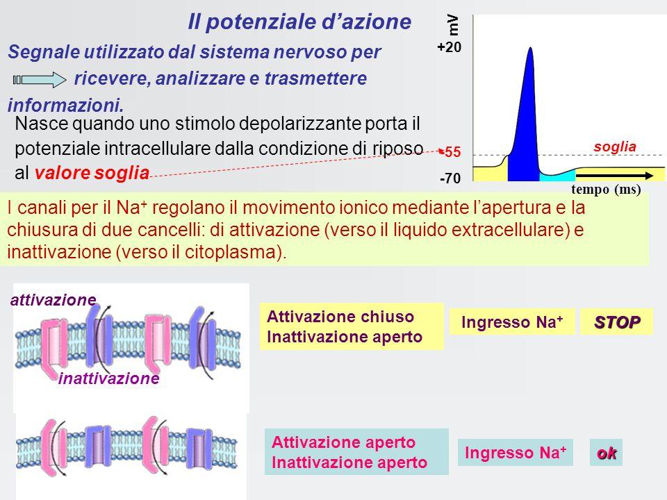 Variazioni del potenziale graduato a diverse distanze dal punto di stimolazione y = e (- t / per t = sarà y = 1/e = 37% del valore massimo (fisioterap